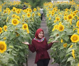 taman-bunga-matahari-pantai-glagah