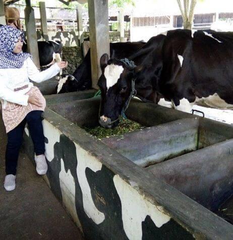 wisatawan kampung susu dinasty