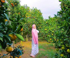 wisata petik jeruk Dau Malang