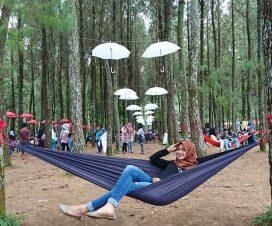 gambar hutan pinus Songgon